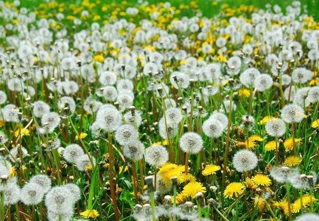 Image result for dandelions