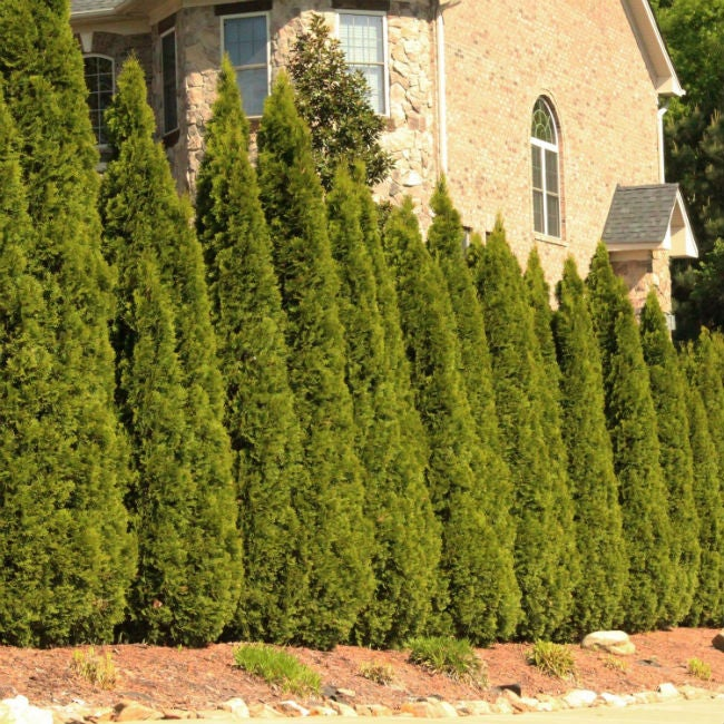 The Best Fastgrowing Evergreen Trees, Solved!  Bob Vila