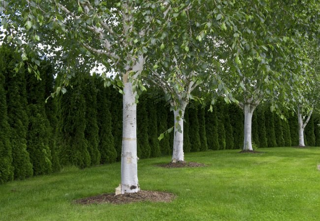 4 trees with white