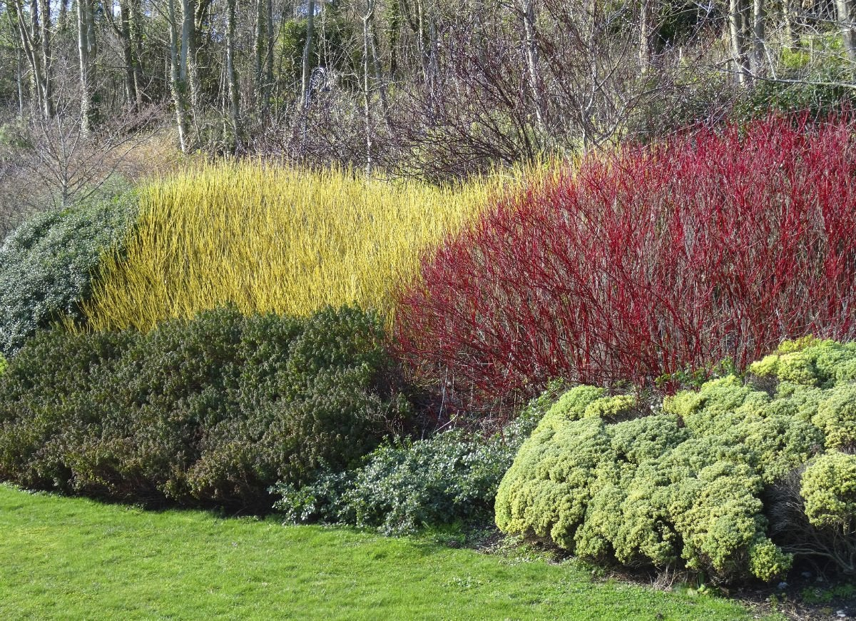 red twig dogwood - curb appeal