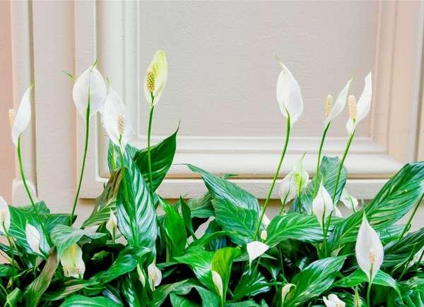 Giglio della pace, una pianta perfetta per rinfrescare la casa.