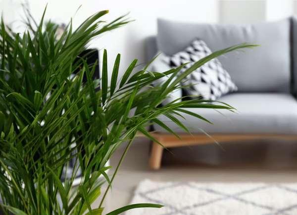 Areca, una pianta perfetta per rinfrescare la casa.