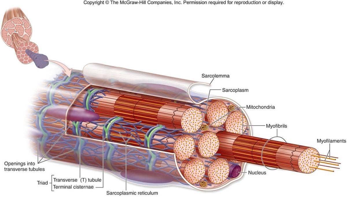 sarcomere diagram to label onan 4000 generator wiring contraturas musculares e lombalgias - dr. hong jin pai