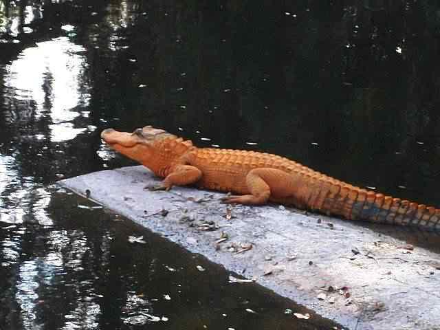 first-orange-alligator
