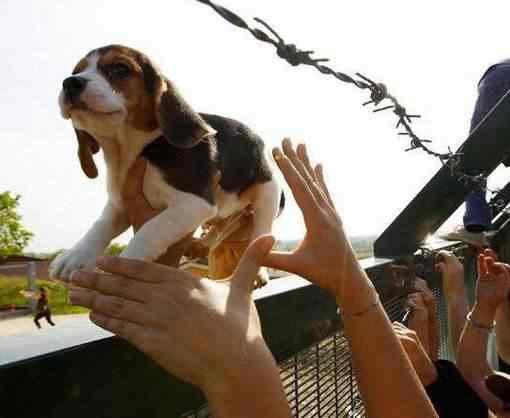Beagles são resgatados na Italia