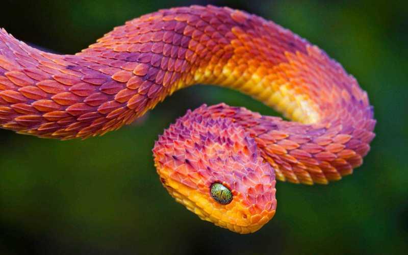 bush_viper-wide