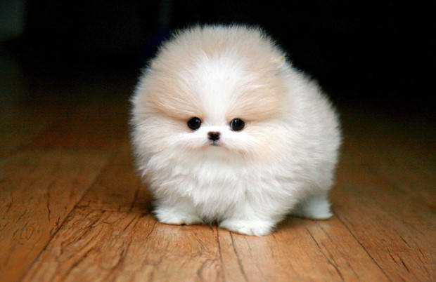 animals-that-are-literally-a-ball-of-fur-warning-may-cause-cuteness-overload-22-620x402