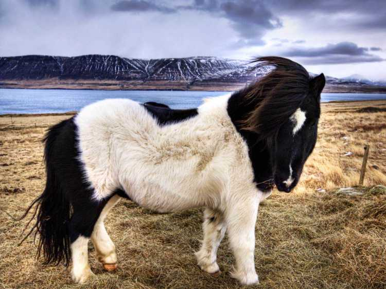 animals_other_furry-black-white-horse_66210