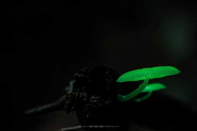 glowingmushroom1.jpg.650x0_q85_crop-smart