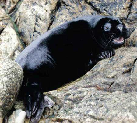 a98232_melanistic_10-seal