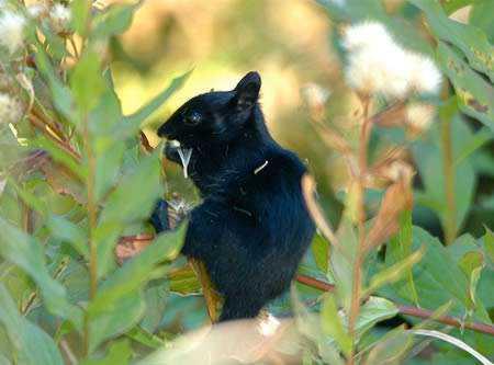 a98232_melanistic_2-squirrel