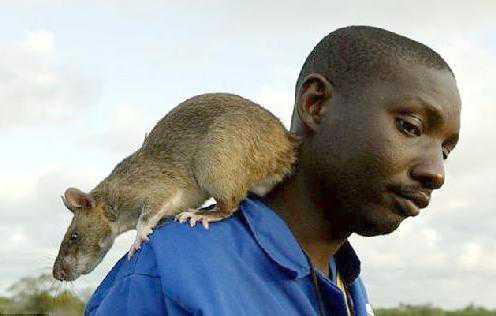 large_african_rat2012-med-wide