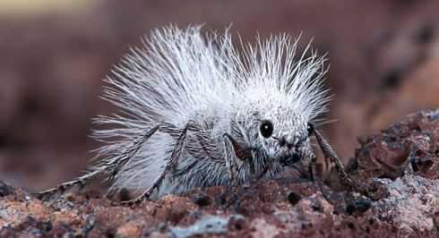 "So, You Think You're Having a Bad Hair Day?!""  A Thistledown Velvet Ant, also known as a ""Cow Killer"".  It isn't really an ant, but a wingless female wasp...This photograph was taken by Robert Jensen, aged 58, in the Mojave Desert, California.  Robert's son Chris, aged 22, found this one wondering around on the ground.  It is about 2 cm's in length.  The males are much smaller and do have wings.  The adults feed on nectar and water.  Their sting can be quite painful.. .PLEASE BYLINE: Robert Jensen/Solent News..© Solent News & Photo Agency.UK +44 (0) 2380 458800."