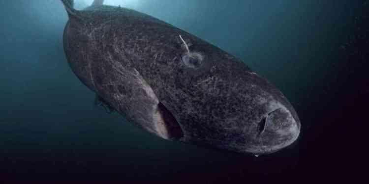 B8C6J6 Greenland shark