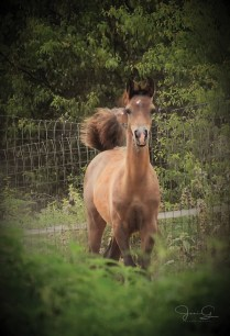 The 2017 colt Merlin Al Haman (Eliron Haman x Al-Marah Star Markby AM Good Oldboy.), owned by Angela Jenkins, Diamond Magic Arabians, Gilmer, Texas.