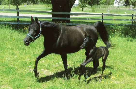 "The six-day-old 2017 filly (Thee Onyx x Ahtractiv Diva), owned by Loraine A. Snyder, Holland, New York. ""I am thrilled to have a gorgeous black purebred Arabian filly. I also have her wonderful black full sister born in 2016, Onyx Beauty,"" says Loraine. ""I always love the photos you print in the September issue."""