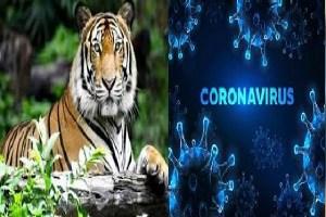 Corona Virus: जानवर भी आ रहे चपेट में, न्यूयॉर्क में बाघिन पाई गई COVID-19 पॉजिटिव