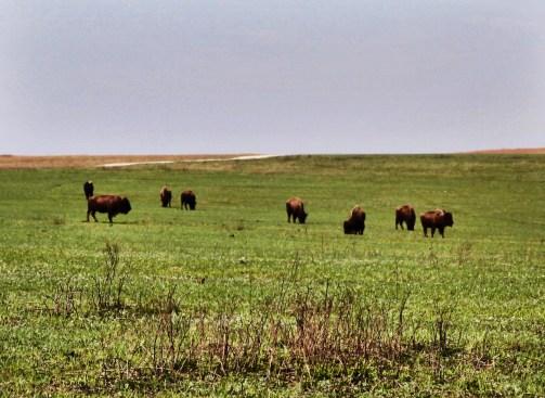 Tallgrass Prairie National Preserve buffalo