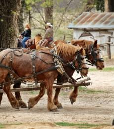 Flying W Ranch draft horses