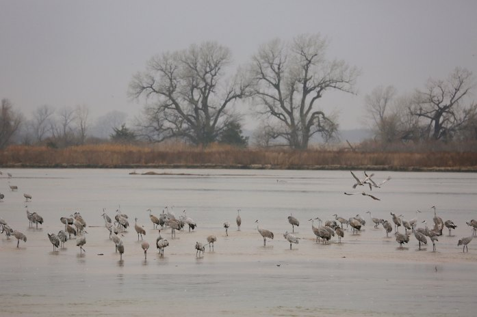 Sandhill cranes on the Platte River blinds view