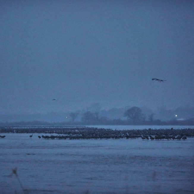 Sandhill cranes on the Platte River before dawn