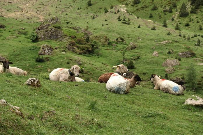 Cirque de Gavarnie sheep