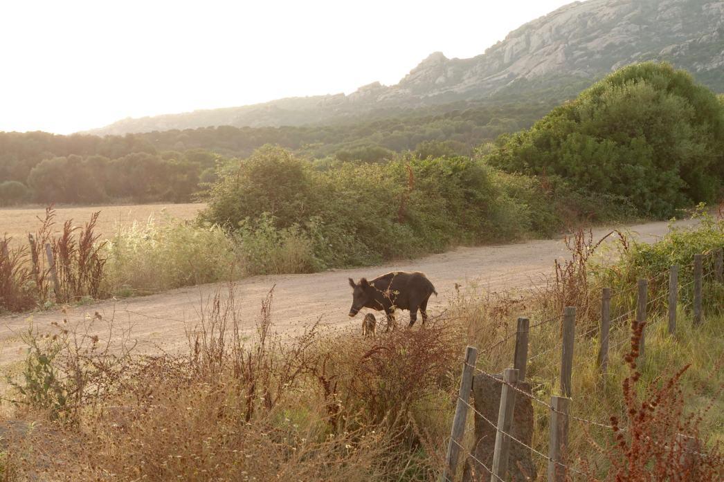 Domaine de Murtoli wild boars