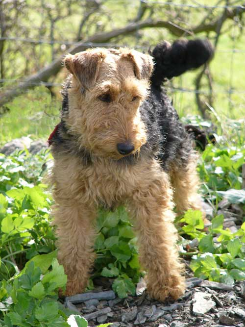 Welsh Terrier Dog Breed Information Puppies Amp Pictures