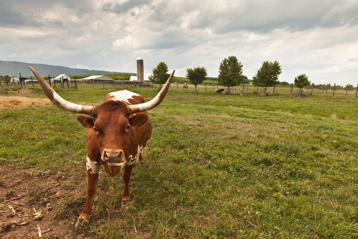Long horned bull Vezzani Photography