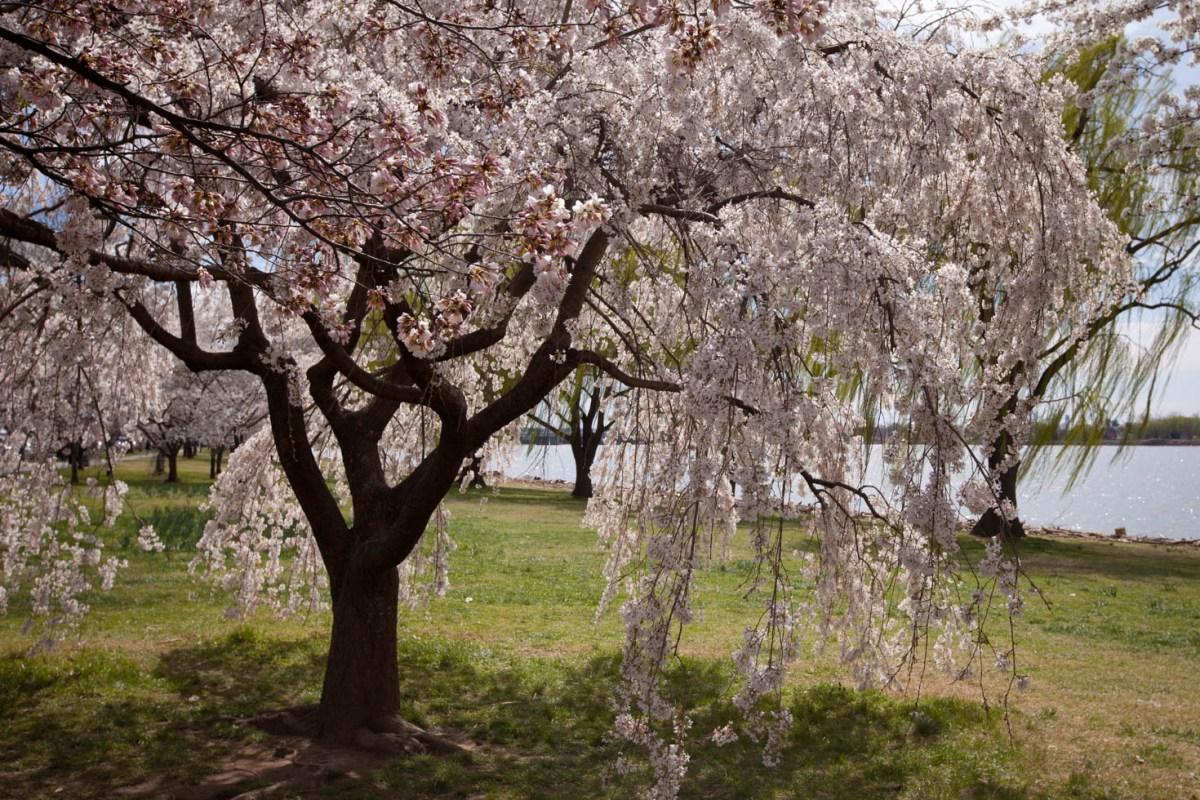Cherry Blossoms Washington DC Vezzani Photography