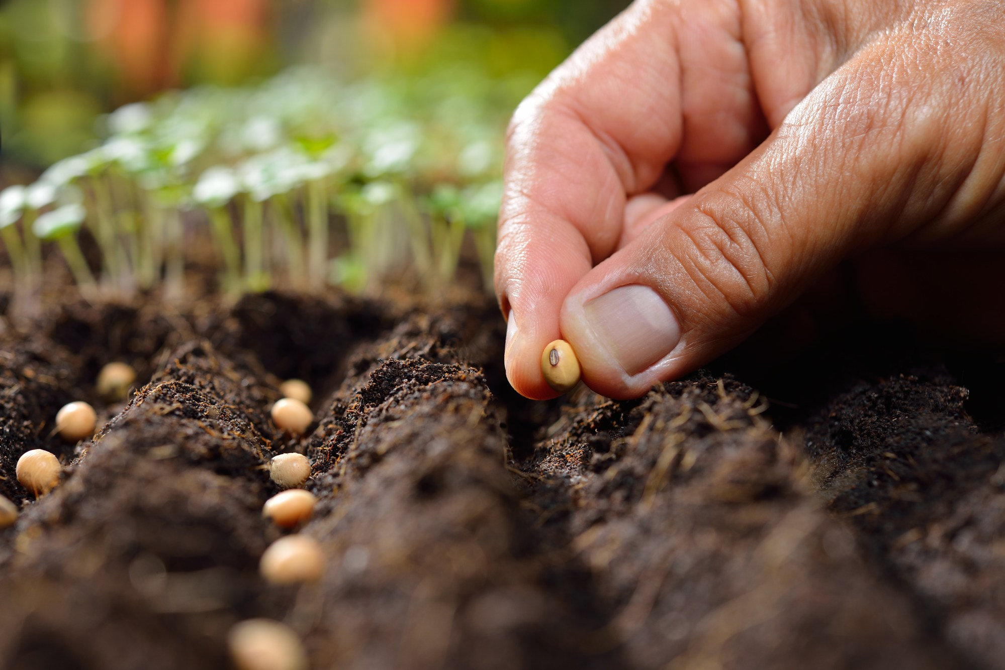 hight resolution of germination of bean seeds without soil