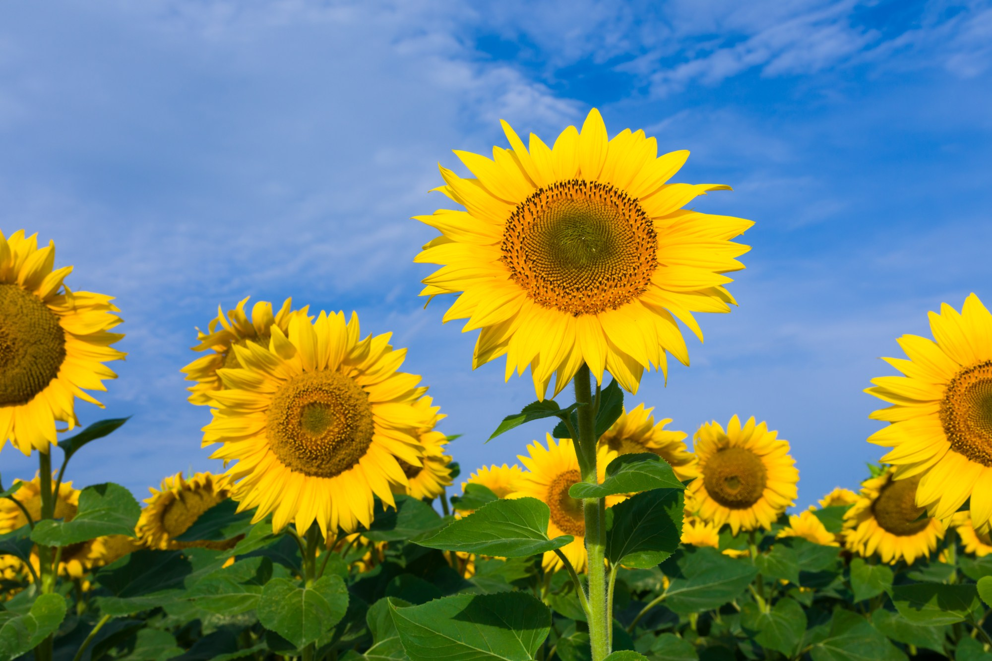 hight resolution of growth period for sunflowers