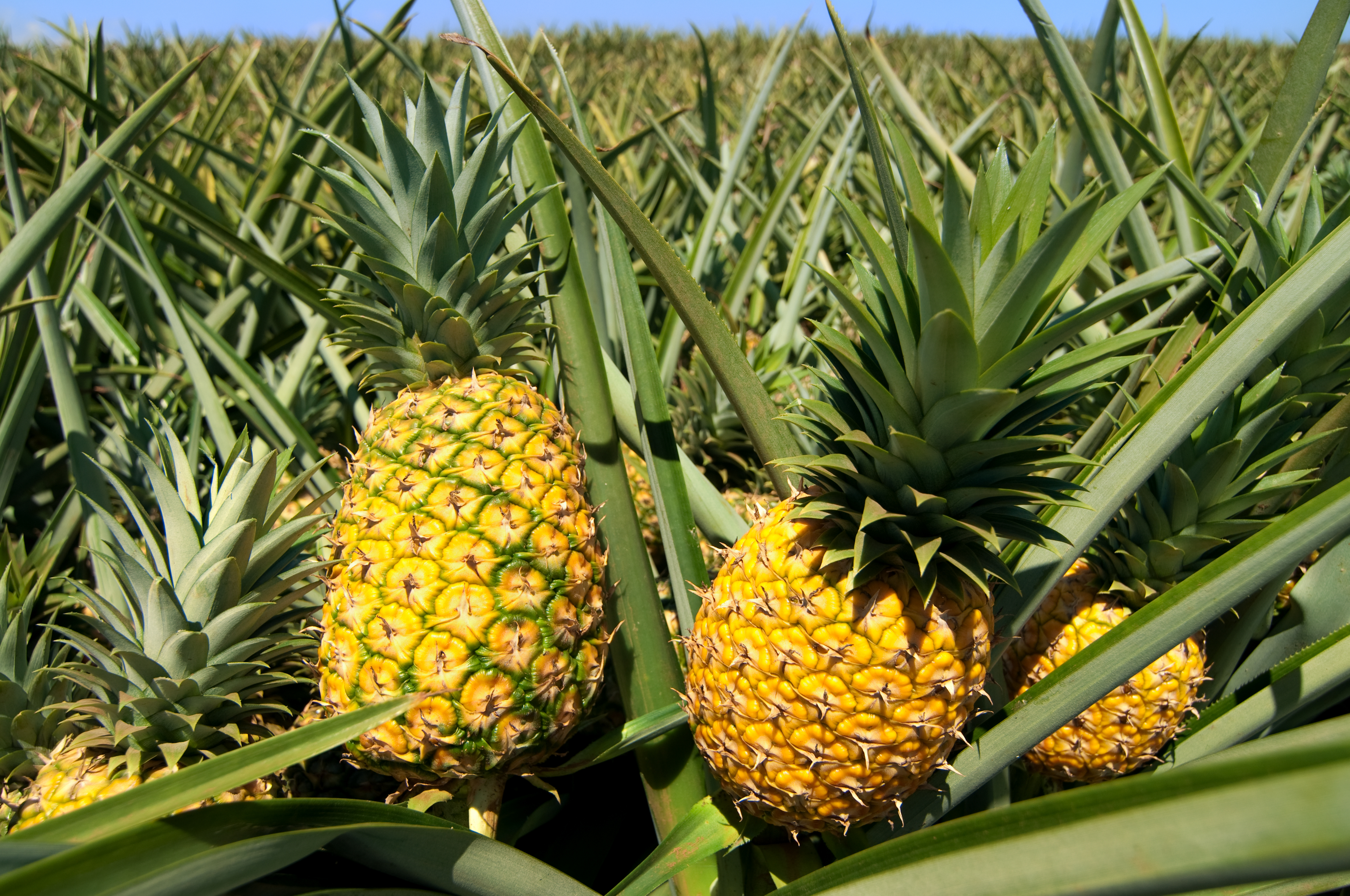does a pineapple grow
