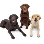 505 Names Perfect For Labrador Dogs Cuteness