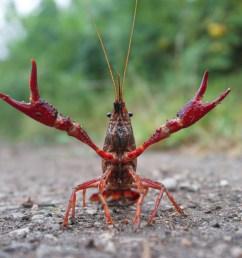crayfish diagram labeled [ 4288 x 2848 Pixel ]