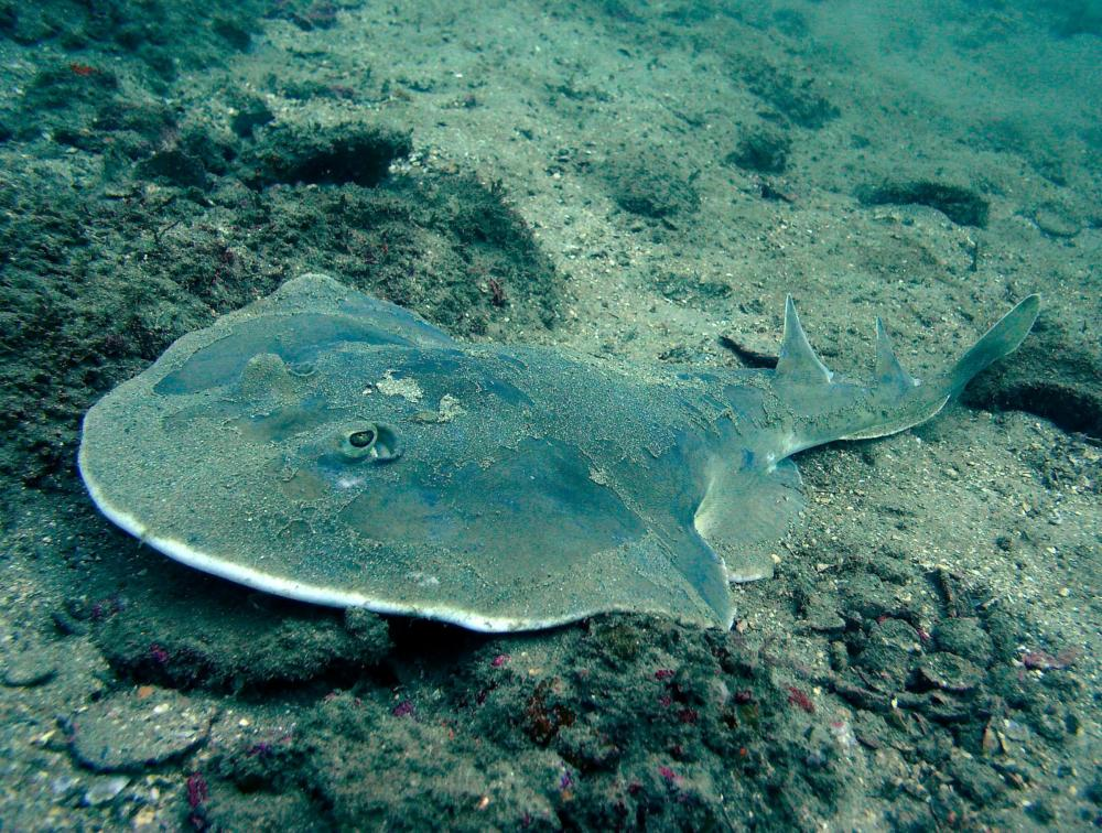 medium resolution of other sharks such as the angel shark have flat bodies that allow them to hide easily on the bottom of the ocean floor some sharks have extra long snouts