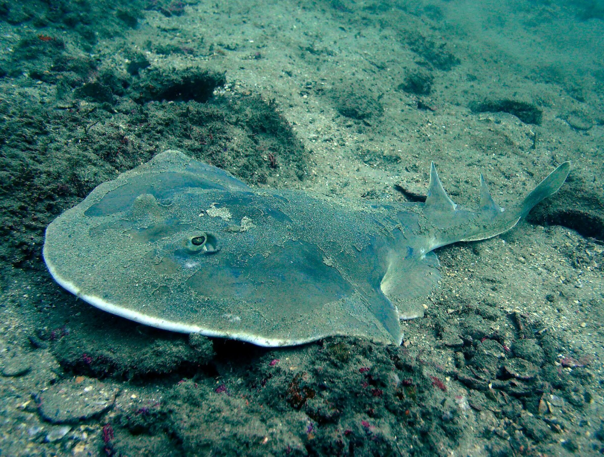 hight resolution of other sharks such as the angel shark have flat bodies that allow them to hide easily on the bottom of the ocean floor some sharks have extra long snouts