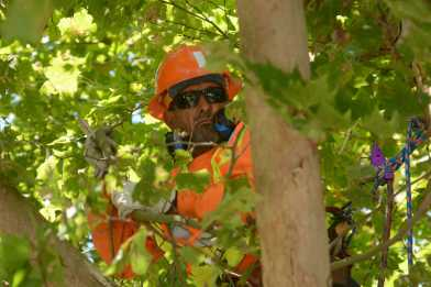 A San Francisco Public Works crew member saws small branches of a tree at a tree maintenance program launch in Noe Valley in San Francisco, Calif. on Wednesday, July 19, 2017.