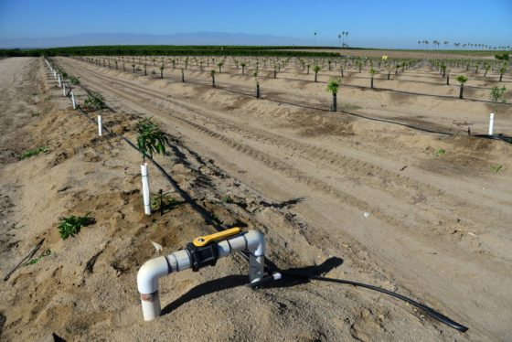 Newly planted almond trees