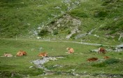 Swiss cows.