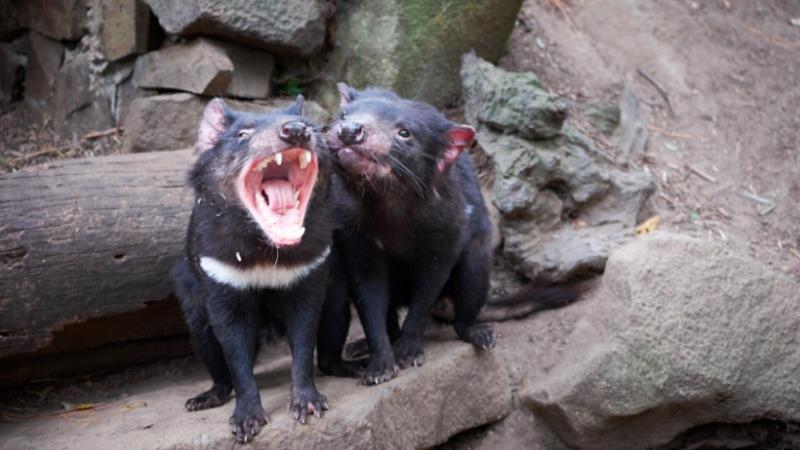 tasmanian devil unzoo entry