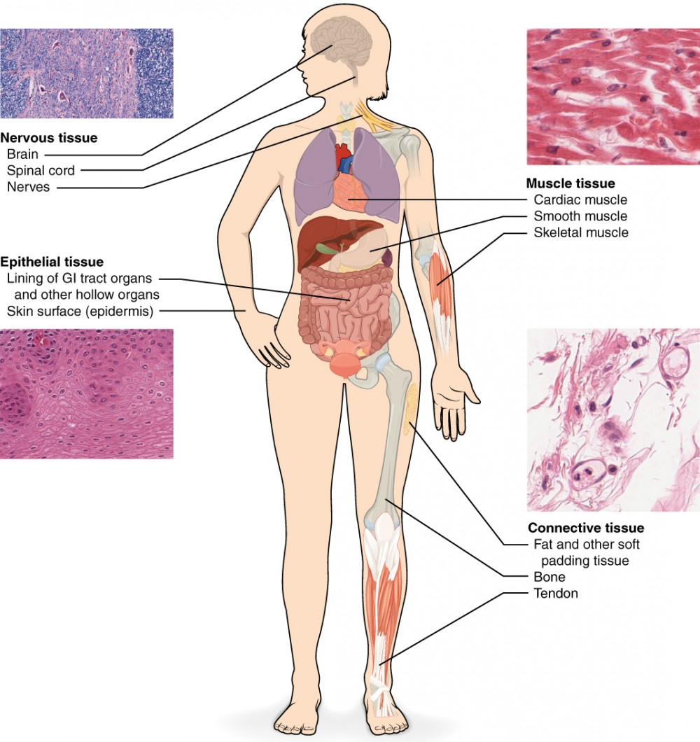 hight resolution of this diagram shows the silhouette of a female surrounded by four micrographs of tissue each