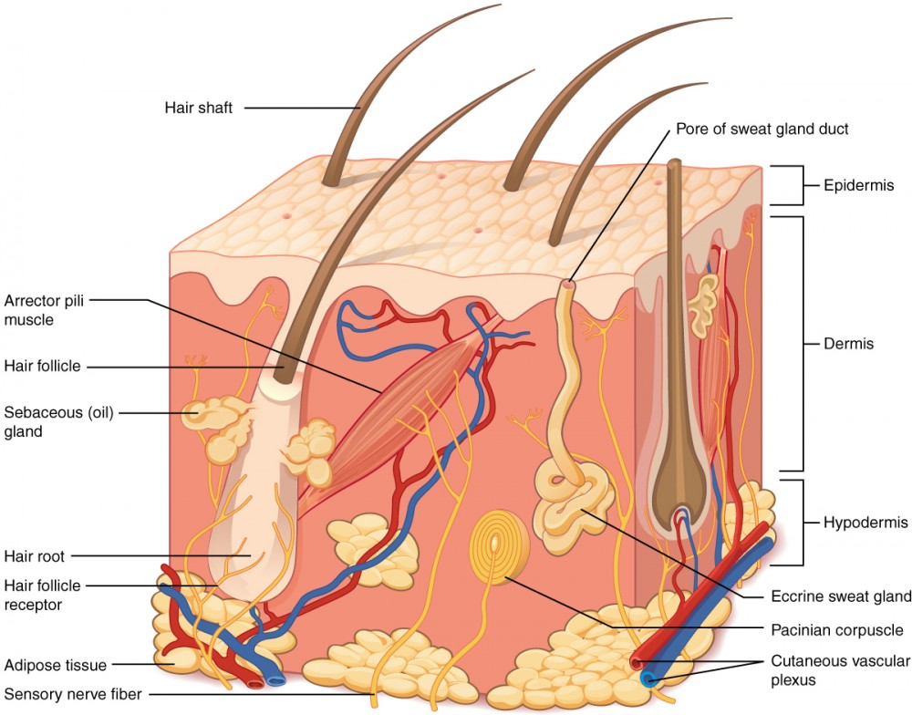 integumentary system diagram labeled emg hz wiring les paul the anatomy and physiology i this illustration shows a cross section of skin tissue outermost layer is called