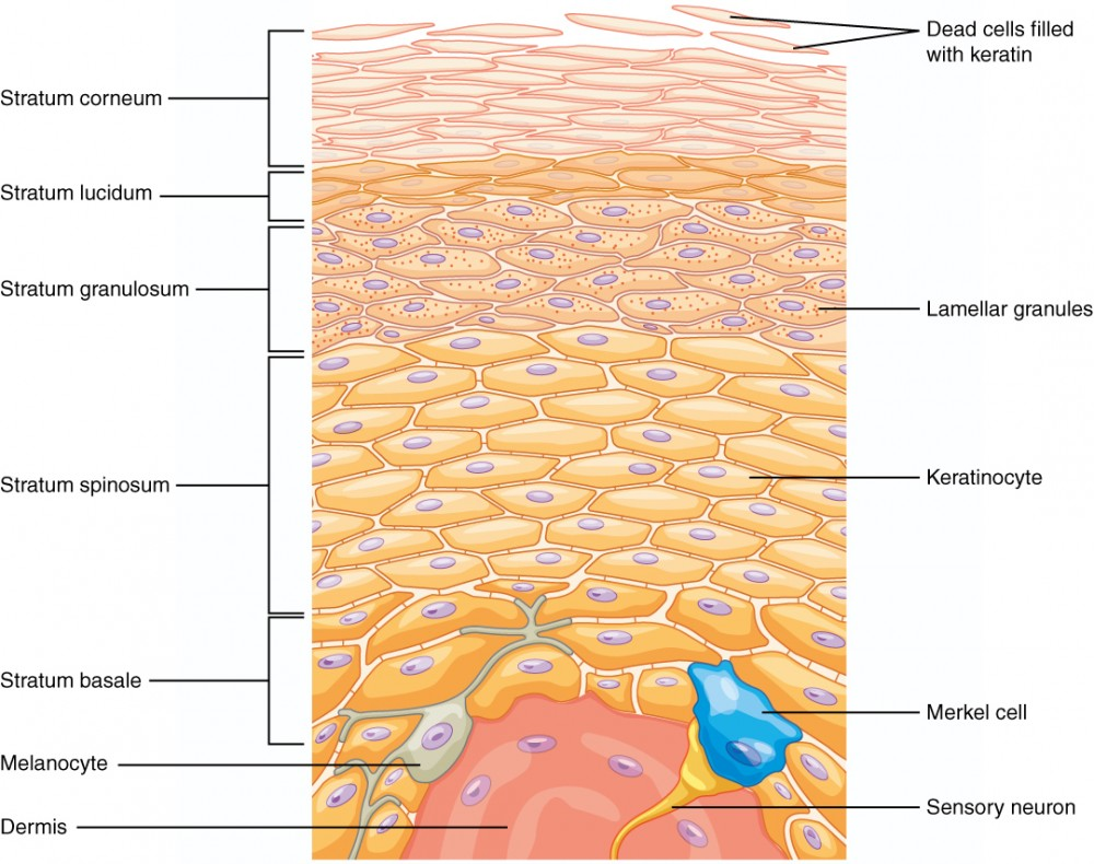 integumentary system diagram labeled compressor wiring the anatomy and physiology i this illustration shows a cross section of epidermis cells innermost layer