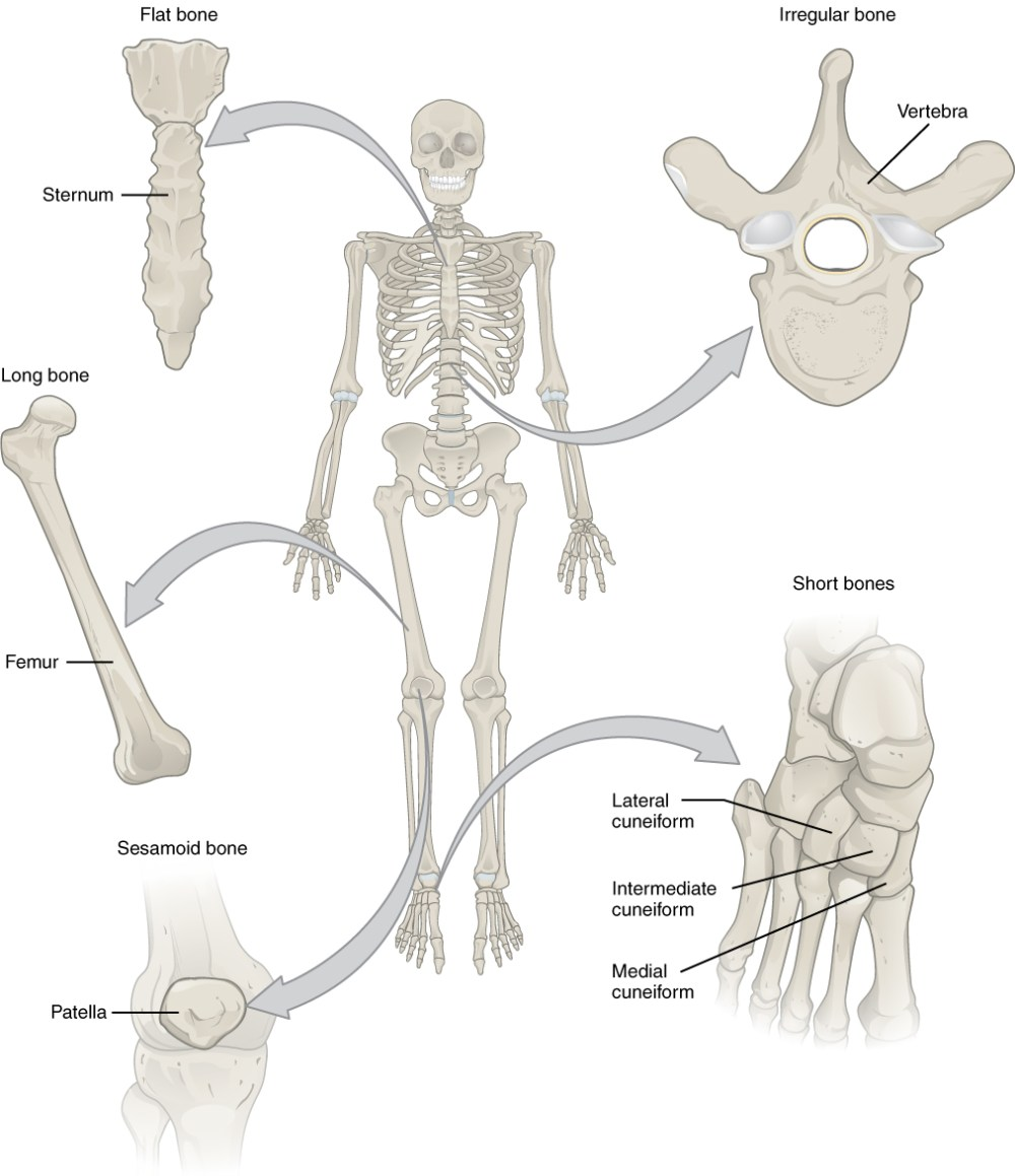 medium resolution of this illustration shows an anterior view of a human skeleton with call outs of five bones