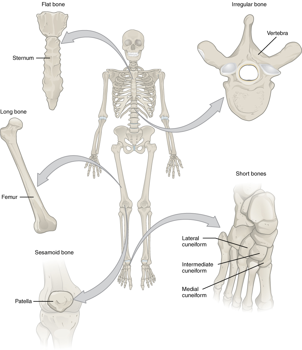 hight resolution of this illustration shows an anterior view of a human skeleton with call outs of five bones