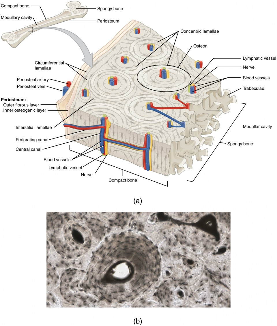 bone cell diagram labeled electron dot for n2 classification and structure anatomy physiology a generic long is shown at the top of this illustration