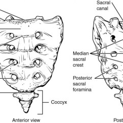 Vertebrae Diagram Blank Printable Atom The Vertebral Column Anatomy And Physiology I This Figure Shows Structure Of Sacrum Coccyx Left Panel