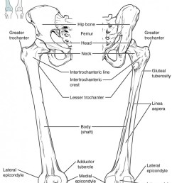 this diagram shows the bones of the femur and the patella the left panel shows [ 760 x 1188 Pixel ]