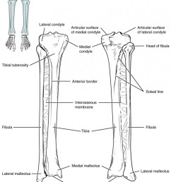 tibia fibula bone diagram wiring diagram pass tibia fibula bone diagram [ 800 x 985 Pixel ]